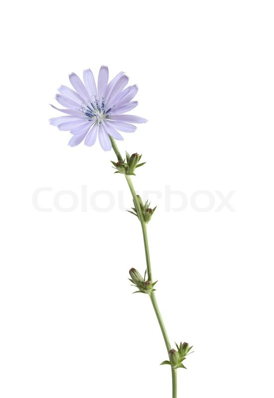 wild flower white background - photo #30