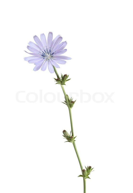 Beautiful blue wild flower with high stem on white background beautiful blue wild flower with high stem on white background stock photo colourbox mightylinksfo