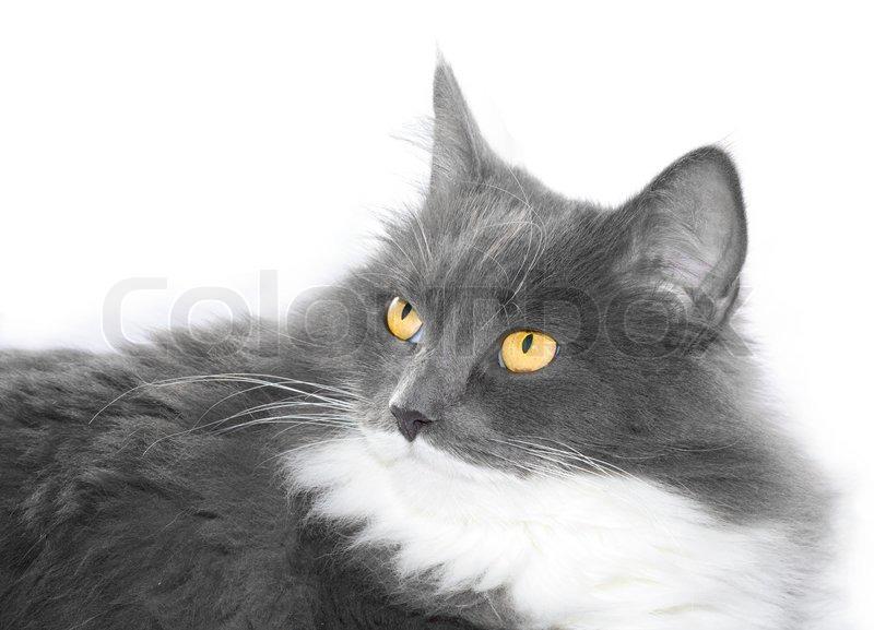 Grey cat with orange eyes over white background | Stock ... White Cat With Orange Eyes