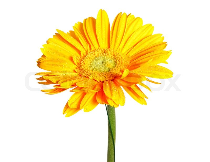 yellow daisy flower isolated on white  stock photo  colourbox, Beautiful flower