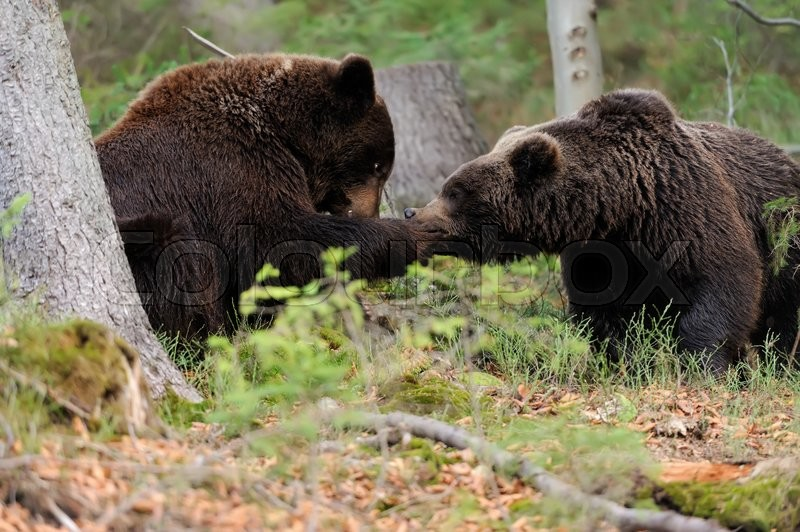 Big brown bear (Ursus arctos) in the forest, stock photo