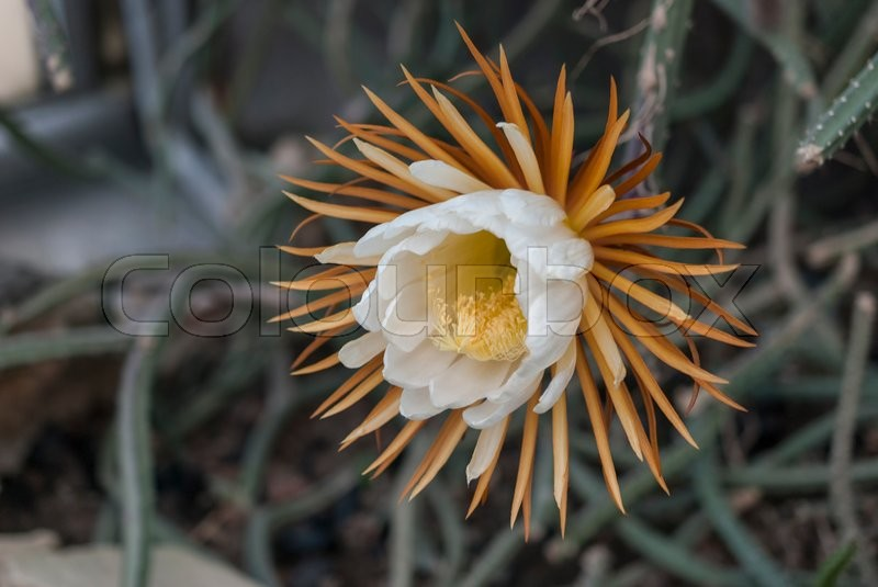 Only a blooming night flower Queen of the night. Selenicereus grandiflorus, stock photo