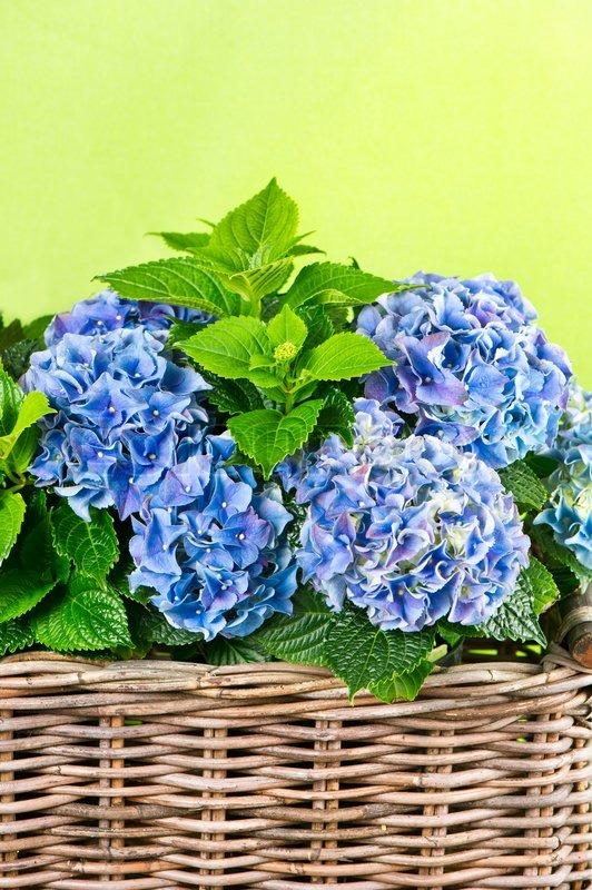 blaue hortensie sch ne hortensien auf gr nem hintergrund. Black Bedroom Furniture Sets. Home Design Ideas