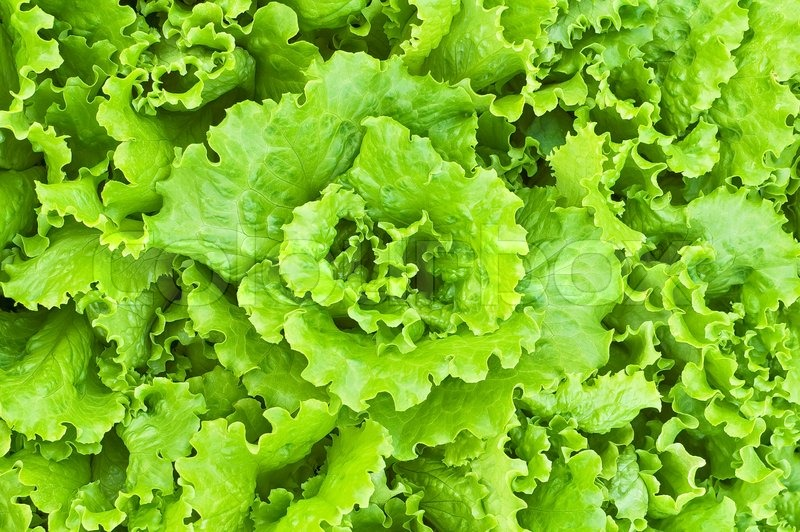 how to cut green leaf lettuce for salad