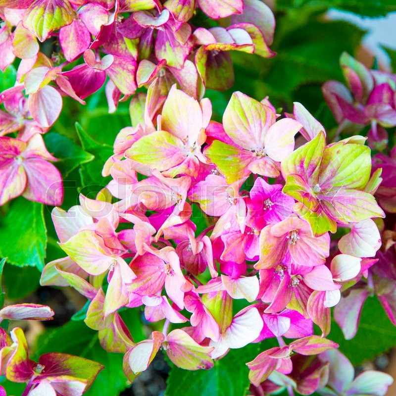 Pink and yellow hydrangea flower (Hydrangea macrophylla), stock photo
