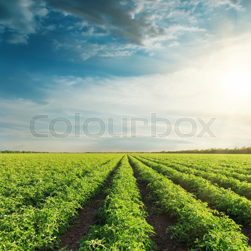 Agricultural field with green tomatoes and sunset in clouds, stock photo