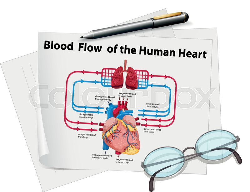 Blood Flow Of Human Heart On Paper Stock Vector