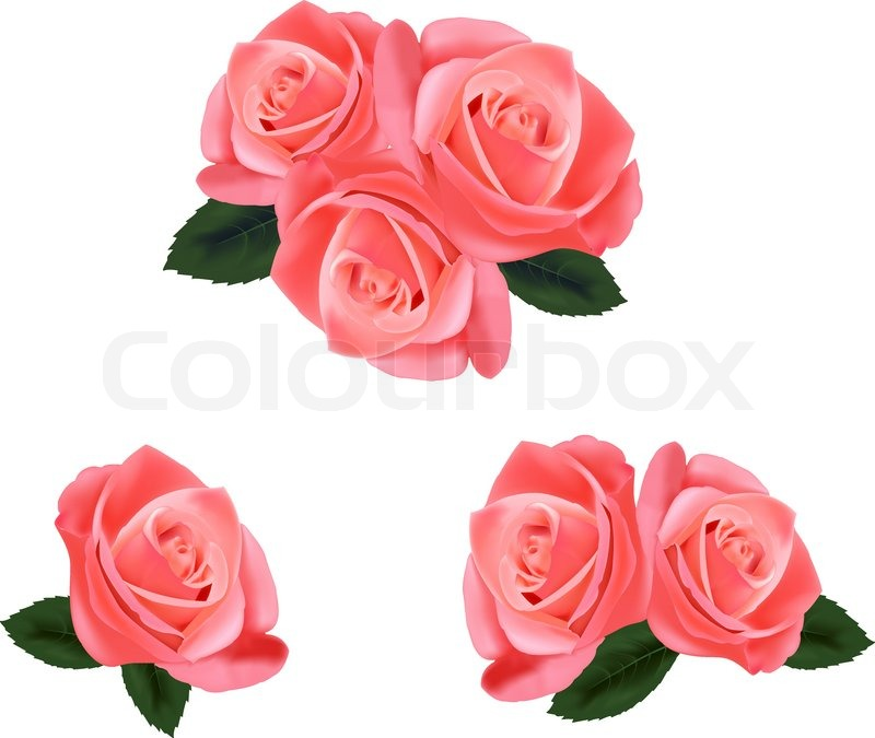 beautiful pink roses with leaves isolated on the white background