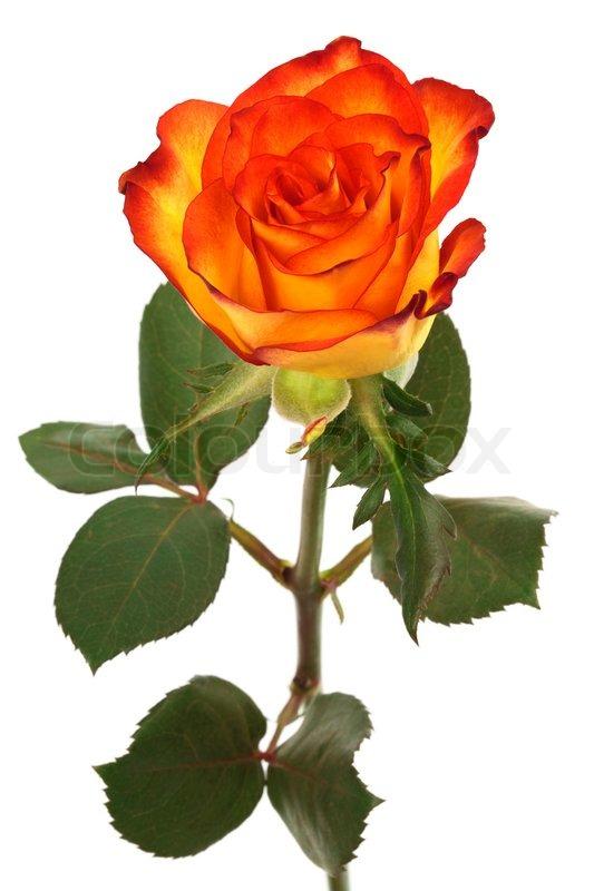 Fresh Orange Rosen Auf Einem Weißen Stock Bild Colourbox