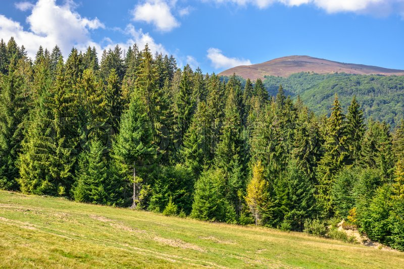 Late summer mountain landscape. meadow on hill side with spruce forest under the blu sky with clouds, stock photo