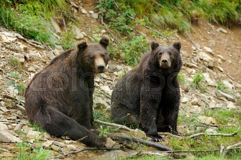 Big brown bear (Ursus arctos) in the environment, stock photo