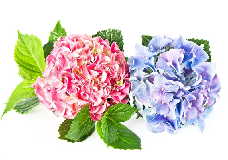 Beautiful Hortensia Isolated On White Pink And Blue