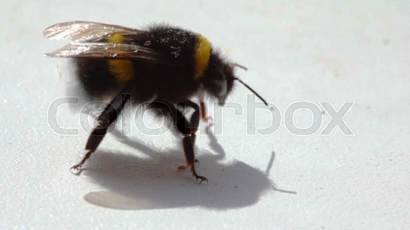 bumblebee steht und sieht aus wie kleine rote spinne kriecht stock video colourbox. Black Bedroom Furniture Sets. Home Design Ideas