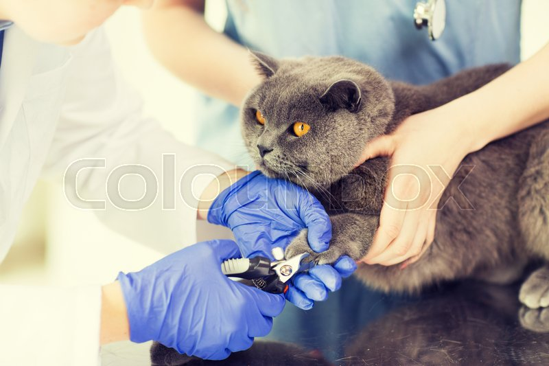 Medicine, pet, animals, grooming and people concept - close up of veterinarian doctor with clipper cutting british cat nail at vet clinic, stock photo