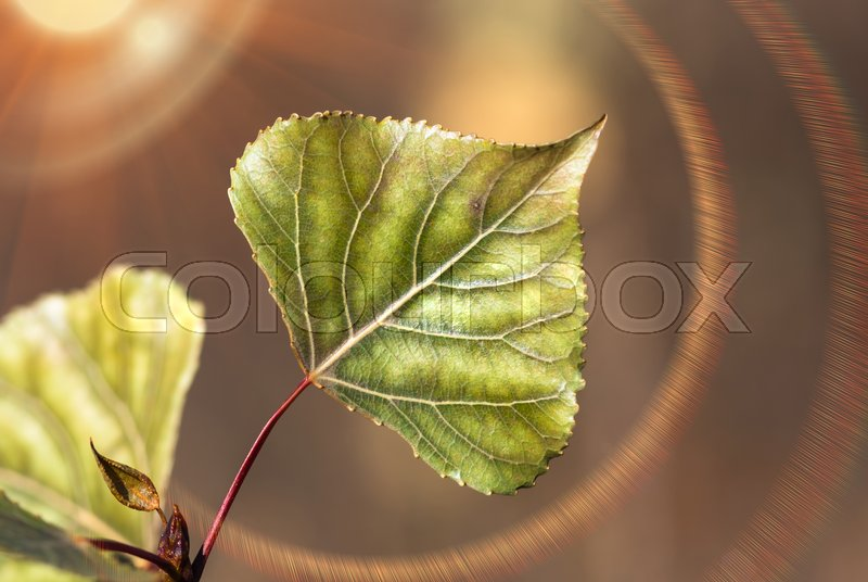Stock image of 'Green poplar leaves with white veins close up on a background of sunny rays'