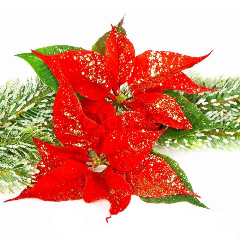 Roter Weihnachtsstern. Weihnachten Blumen   Stockfoto   Colourbox