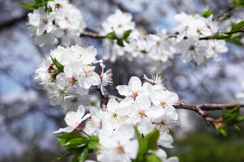 Blossoming tree with white flowers in spring stock photo colourbox mightylinksfo