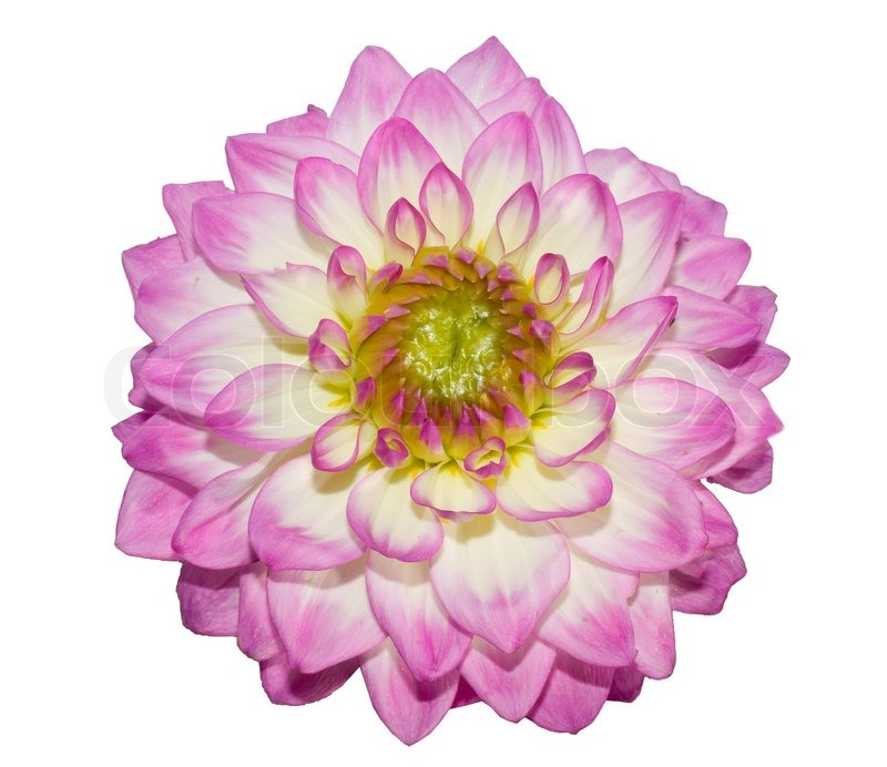 Beautiful flower on white background stock photo colourbox mightylinksfo