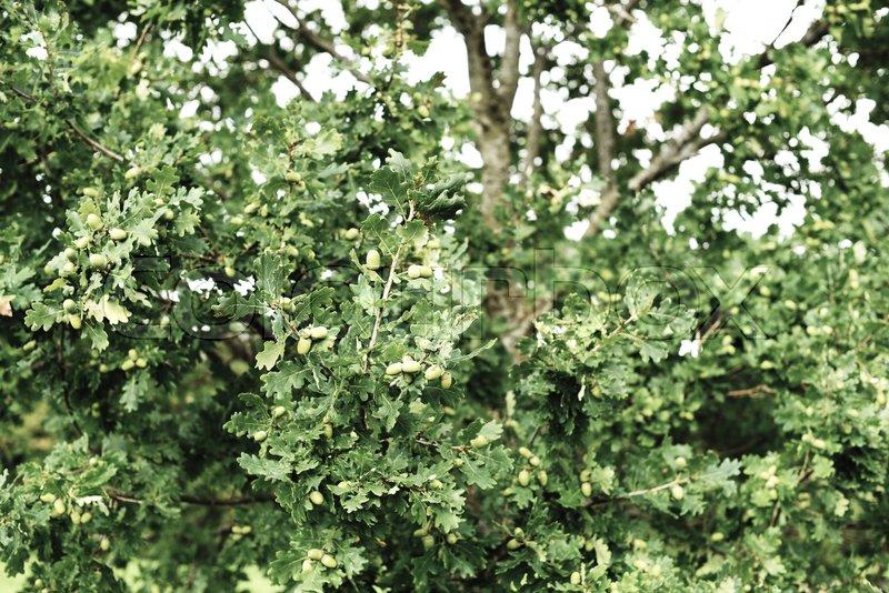 hasseltræ