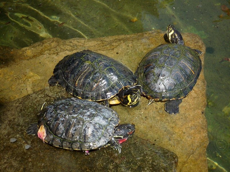 Stock image of 'Three small turtles'