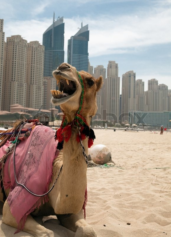 Camel at the urban background of dubai stock photo colourbox altavistaventures Choice Image