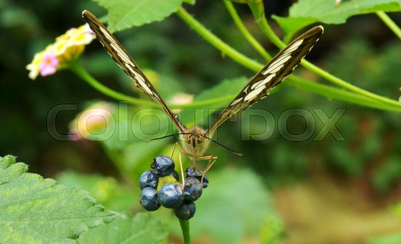 Close-up of and Face to Face with the Fuzzy, Wide-eyed Almost Cartoon Looking Face of a Butterfly as it Feeds on Ivy Berries, Using it\'s long Tongue Like Mouth-Piece (The Proboscis) as a Straw it Sucks out the Juice, stock photo