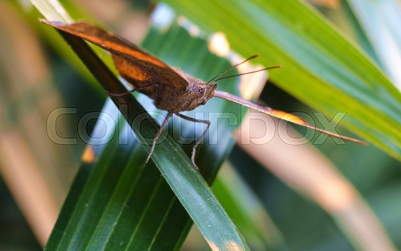 Face to Face with a Golden Coloured Butterfly perched in the sun on a leaf - close up, stock photo