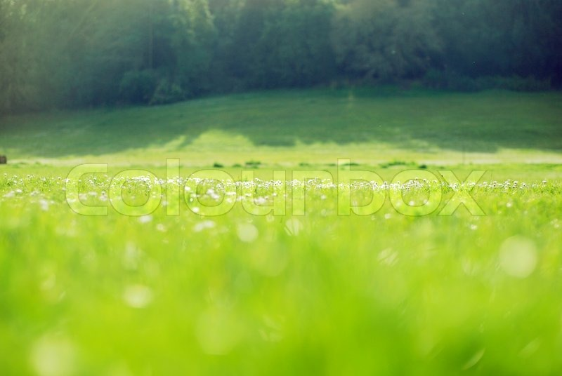 grass field background with flowers. Green Field Blurred Background With Rare White Blossom Flowers, Stock Photo Grass Flowers