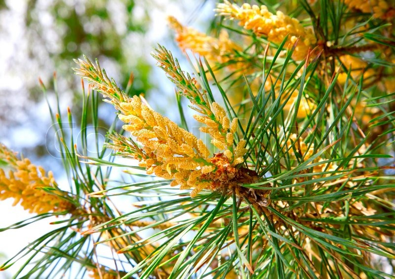 The blooming pine tree closeup  pollen | Stock image | Colourbox