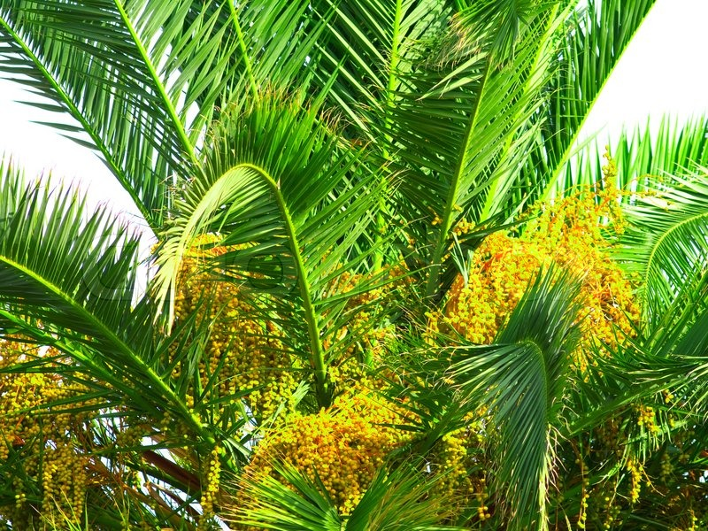 how to grow a palm tree from seed