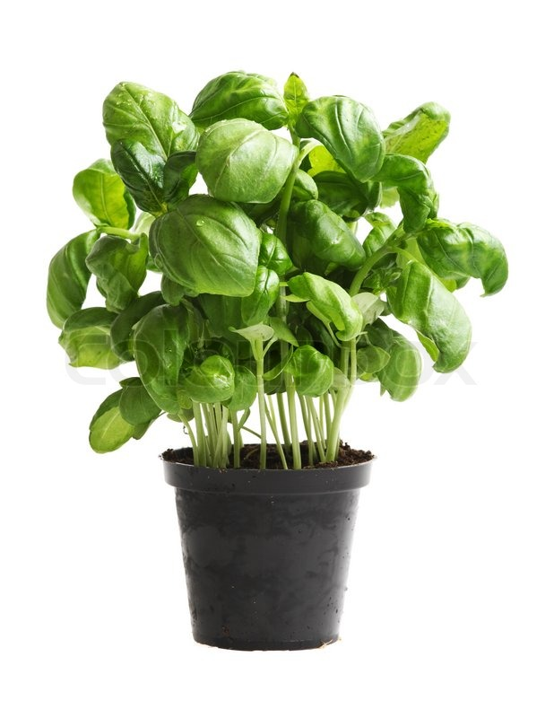 Best Plant Food For Basil