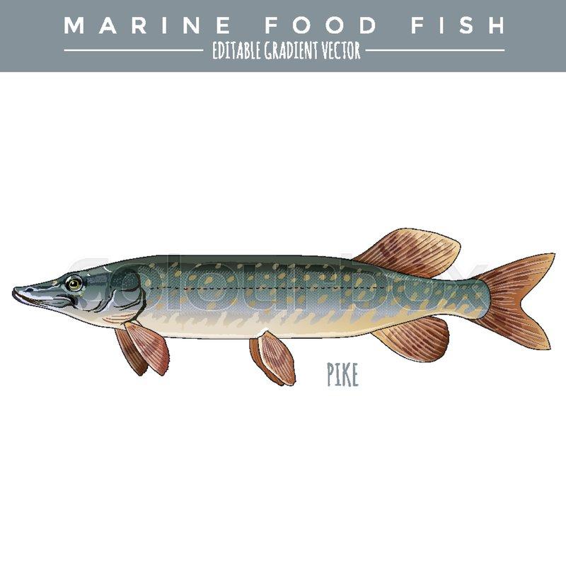 Pike illustration. Marine food fish, editable gradient vector ...