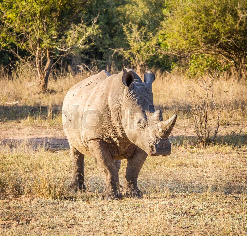 Starring White rhino in the Kruger National Park, South Africa, stock photo