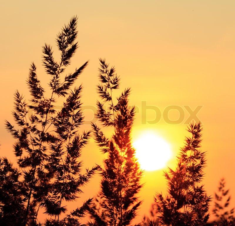 Plants silhoette of field in evening glow, stock photo
