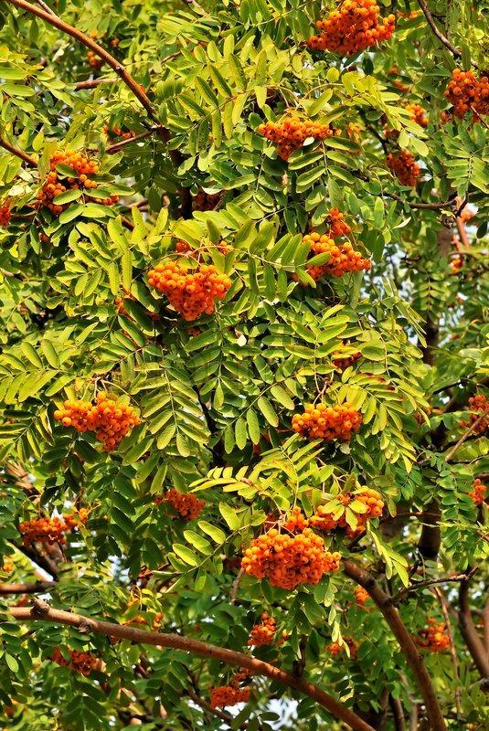 Rowan Tree With Orange Berries And Stock Image Colourbox