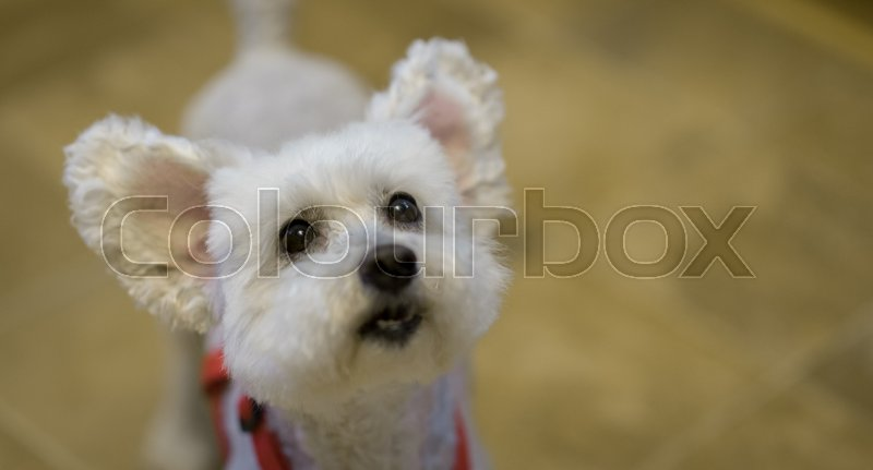 Pet poodle looks excitedly upward with ears raised and cute expression on face, focus on eyes, stock photo