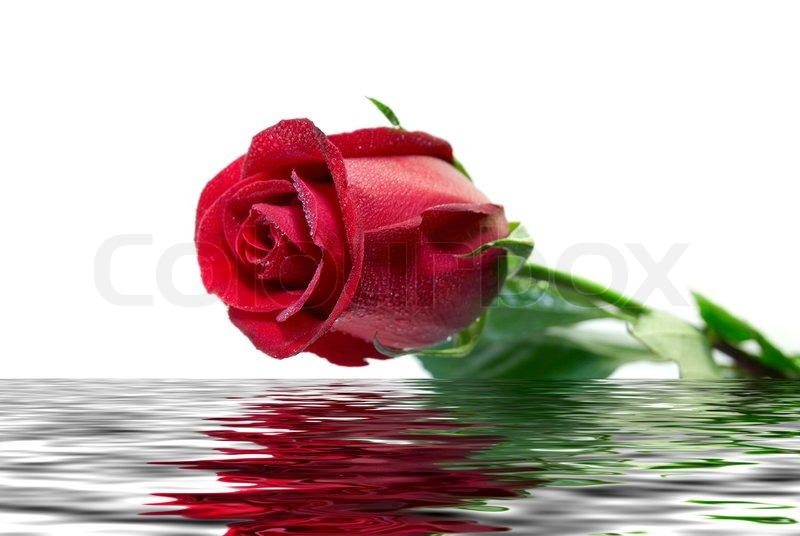 Beautiful Single Red Rose Flower Isolated Royalty Free: Beautiful Red Rose Covered By Drops Is Reflected In A Wavy