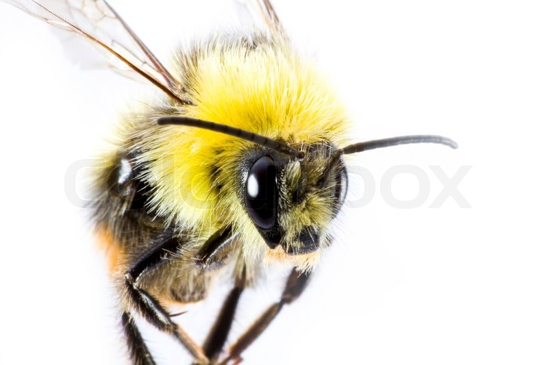 Bumblebee In Close Up Insect Stock Photo Colourbox