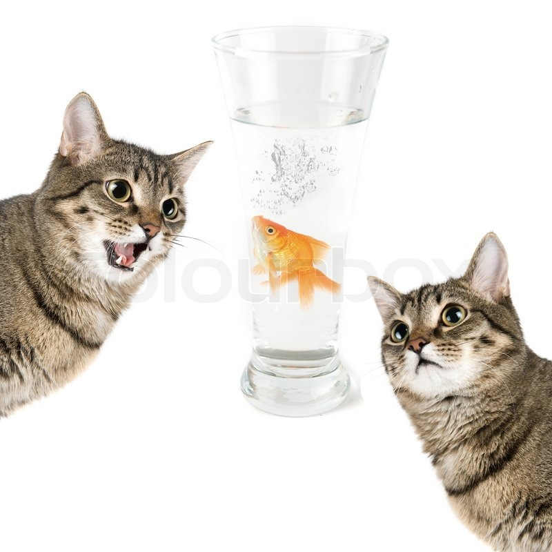 Two cats and gold fish in a bowl isolated on white stock for Fish video for cats