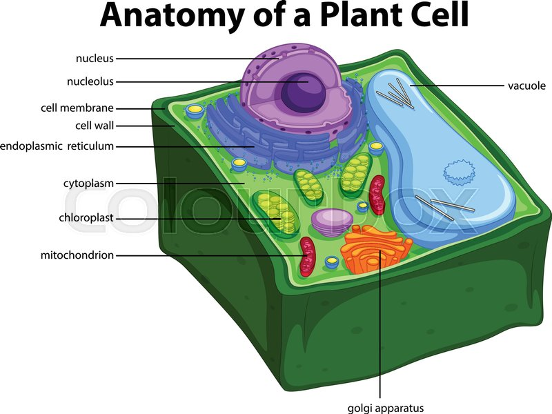 Diagram Showing Anatomy Of Plant Cell Royalty Free Vector Manual Guide