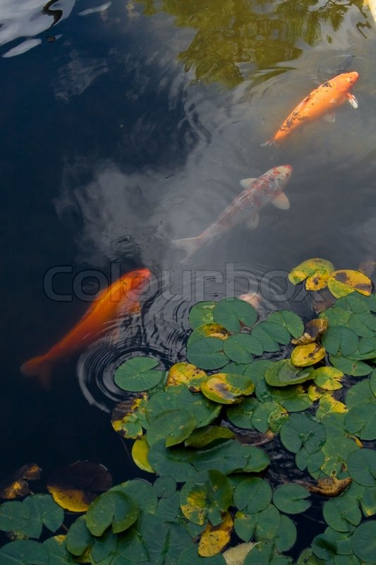 Stock image of 'Three koi fish in the pond with lily pads'