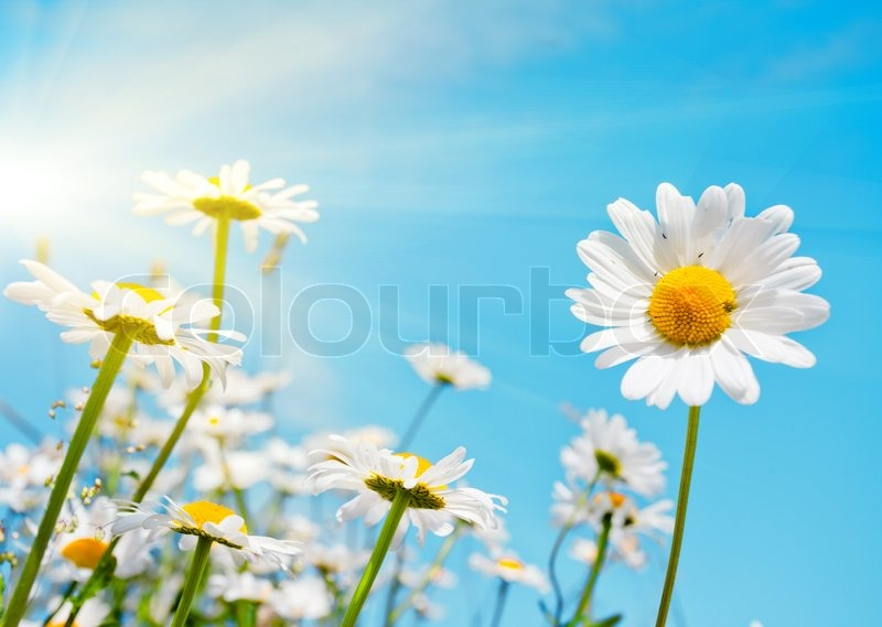 Stock image of 'Summer field with white daisies on blue sky'