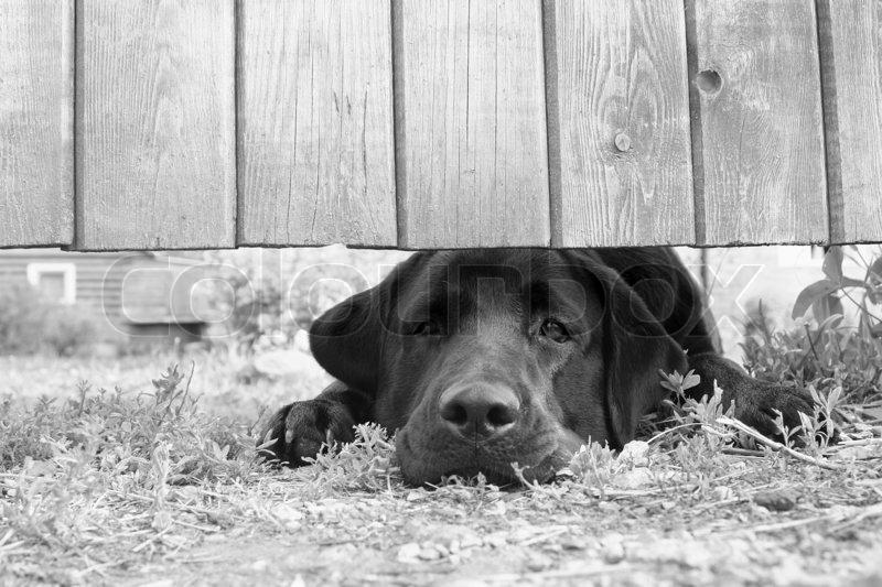 netter trauriger hund unter dem zaun in b w. Black Bedroom Furniture Sets. Home Design Ideas