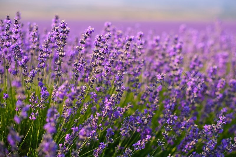 Purple Lavender Flowers In The Field Stock Photo