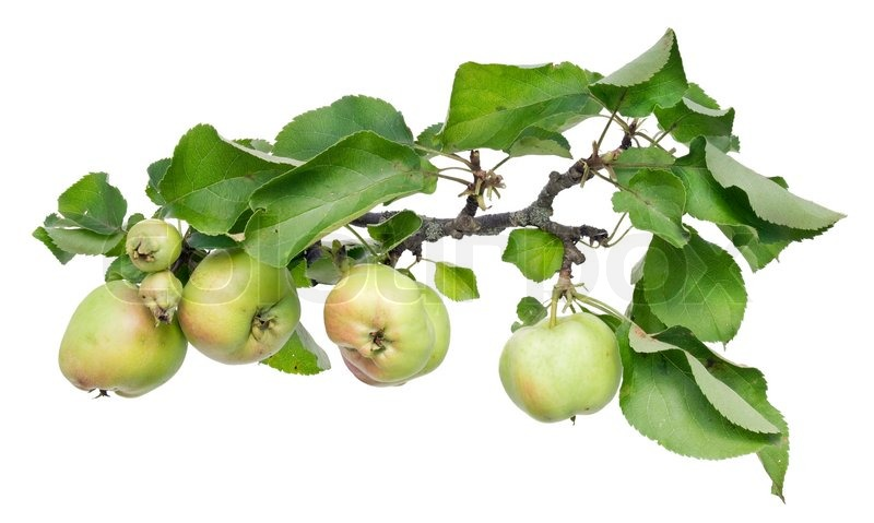 real green unripe apples on a tree branch with leaves