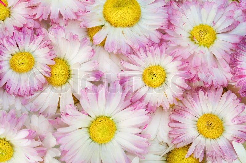 real spring pink daisies flowers macro background