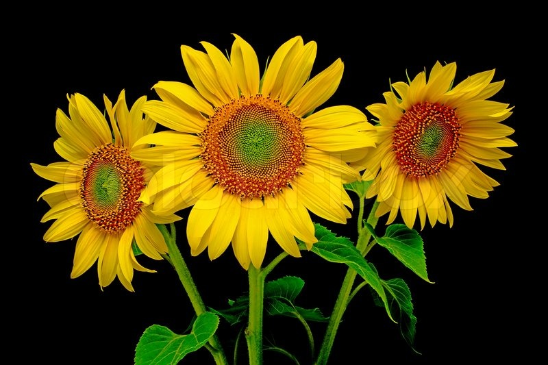 A Bouquet Of Sunflowers From The Three Close Up On Black Background