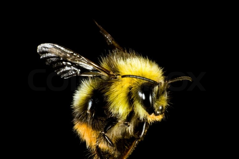 Fuzzy Black Background : Close up of bumble bee before black background the insect