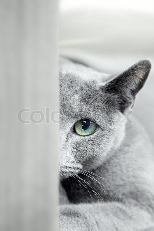 Russische blaue Katze mit grünen Augen    Stock Bild