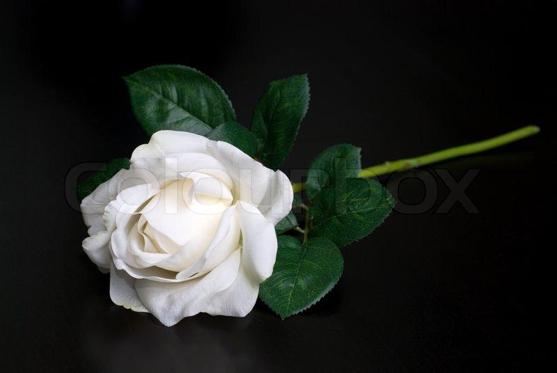 Black Rose White Background White single rose on a...